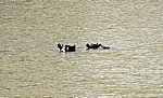 Flußpferde (Hippopotamus amphibius) im Wasser - Mikumi Nationalpark