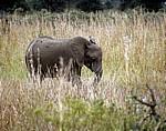 Afrikanischer Elefant (Loxodonta africana) - Mikumi Nationalpark