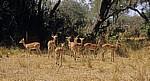 Impalas (Aepyceros melampus) - Selous Wildreservat