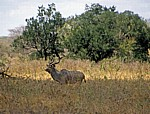 Großer Kudu (Tragelaphus strepsiceros) - Selous Wildreservat
