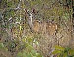 Großer Kudu (Tragelaphus strepsiceros, weiblich) - Selous Wildreservat