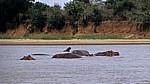 Flußpferde (Hippopotamus amphibius) - Rufiji