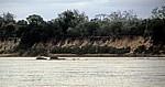 Flußpferde (Hippopotamus amphibius) vor dem Steilufer - Rufiji