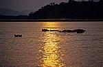 Flußpferde (Hippopotamus amphibius) im Sonnenuntergang - Rufiji
