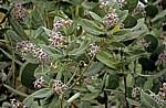 Blühendes Nachtschattengewächs (Solanum) - Pwani Region