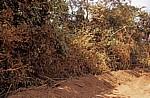 Fahrt Mtemere Gate, Selous Game Reserve - Daressalam: Eingestaubte Büsche am Straßenrand - Pwani Region