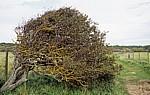 Weißdorn (Crataegus) - Formby