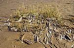 Beach (Strand): Amerikanische Scheidenmuscheln (Gerade Scheidenmuscheln, Ensis directus) - Southport
