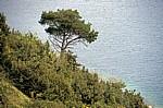 Steilküste: Waldkiefer (Pinus sylvestris) - Gespanschaft Dubrovnik-Neretva