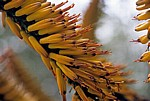 Arboretum von Trsteno: Echte Aloe (Aloe vera) - Blüte - Trsteno
