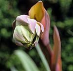 Arboretum von Trsteno: Amaryllis-Knospe (Amaryllidaceae) - Trsteno