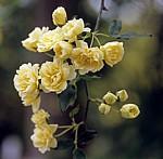 Arboretum von Trsteno: Gelbe Rosen (Rosa) - Trsteno