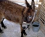 Ethnografisches Museum (Alte Mühle): Hausesel (Equus asinus asinus) - Nationalpark Krka